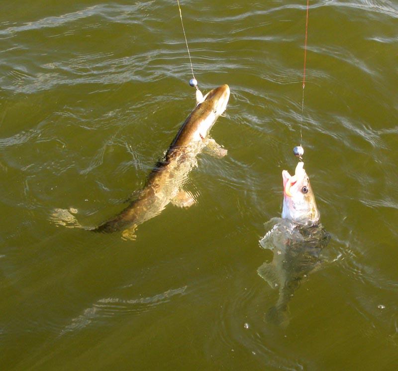Как приготовить горох для рыбалки - Ловля на фидер